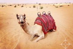 Dune Buggy - Camel Riding